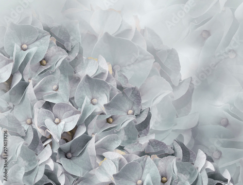 Montage in der Fensternische Hortensie hydrangea flowers. light gray background. floral collage. flower composition. Close-up. Nature.