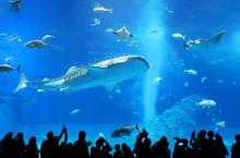 【沖縄県 日本の観光名所】美ら海水族館のジンベイザメ