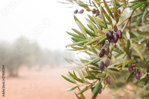 Fond de hotte en verre imprimé Oliviers Detail of olive tree branches full of black picual olives