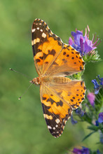 Close Up Of Painted Lady Butterfly Sitting On Blue Flower