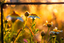 Flowers In The Evening Light, ...