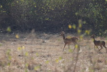 The Deer Roaming