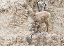 Lamb Of  Bighorn Sheep (Ovis Canadensis) Moving Graciousely On The Rocky Cliff Of Badlands National Park, South Dakota, USA