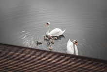 Swan Family, Proud Parents With Baby Swans Swimming In A Lake, Close Up