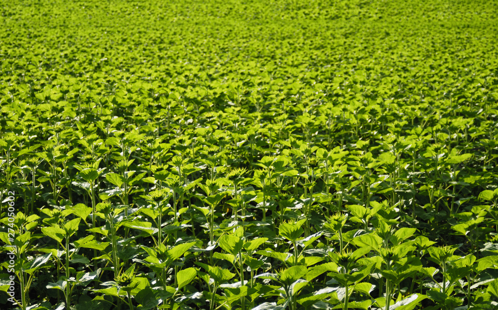 Fototapety, obrazy: field of sunflowers and buds