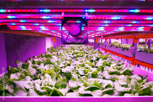 Photo Ventilator and special LED lights belts above lettuce in aquaponics system combi