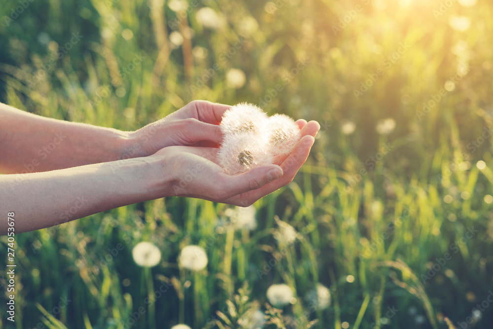 young female hands holding beautiful dandelion flowers, copy space