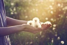 Young Woman Wearing Linen Dress Standing In Sunlight Holding Beautiful Dandelion Flowers