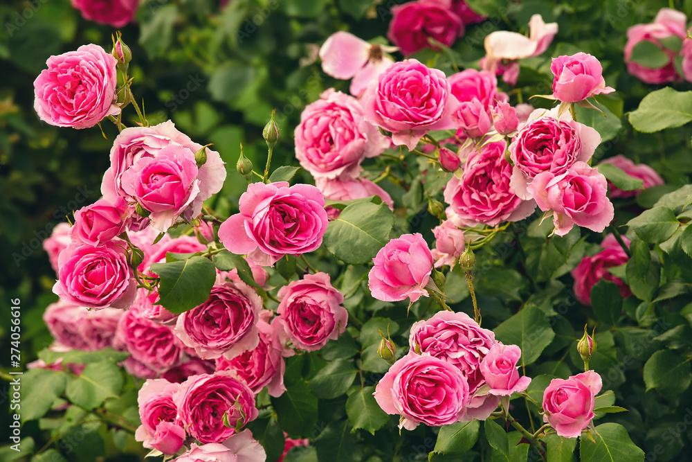 Fototapety, obrazy: Bush of pink roses, summertime floral background