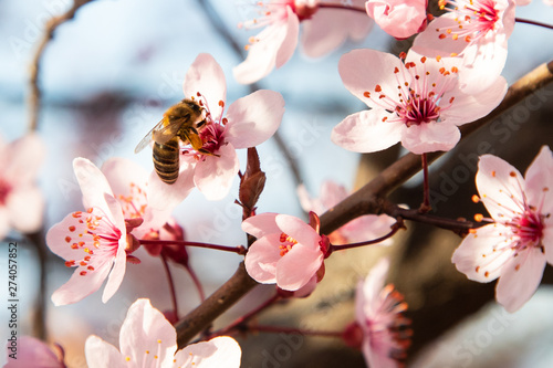 Bee pollinating cherry tree flowers blossoming at field - 274057852