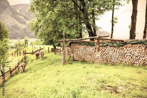 Tuinposter Zwavel geel Cows grazing in rural Austria