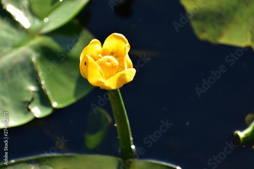Obraz piękny żółty kwiat lilii wodnej - fototapety do salonu
