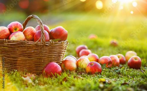 Apples in a Basket Outdoor. Sunny Background. Autumn Garden Fototapet