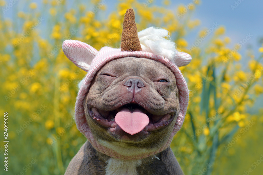 Fototapeta Funny lilac brindle colored French Bulldog dog with funny pink unicorn hat, closed eyes and tongue sticking out on blurry yellow flower background