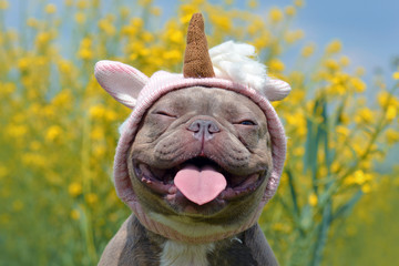 Fototapeta Pies Funny lilac brindle colored French Bulldog dog with funny pink unicorn hat, closed eyes and tongue sticking out on blurry yellow flower background
