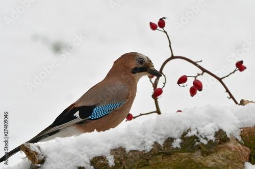 Stampa su Tela jay bird in Czech nature,winter time