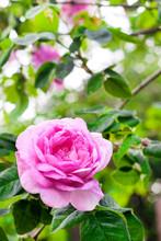 Rosa Centifolia (Rose Des Pein...