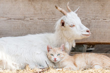 A White Goat Is Hugging A Ginger Kitten. Nonstandard Situation. Sweetheart And Fun Photo.
