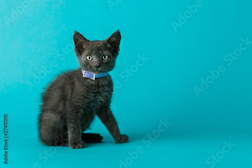 Photo  Grey Gray Cat Kitten with Green Eyes on a Blue Background