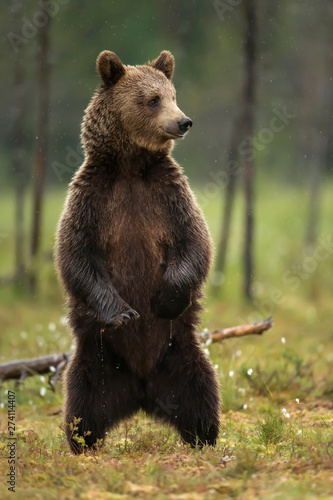 Obraz na plátně Close up of Eurasian brown bear standing on hind legs