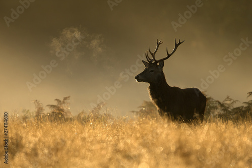 Poster Cerf Red Deer stag during rutting season at dawn