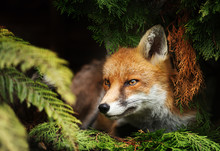 Close Up Of A Red Fox Lying Un...