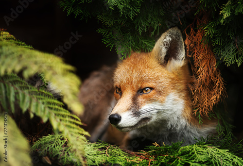 Close up of a Red fox lying under a tree Canvas Print