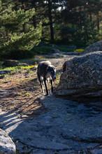 Greyhound Walking Among Rocks