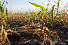 A Close Up Of Young Corn Plants Growing In A Rye Cover Crop.