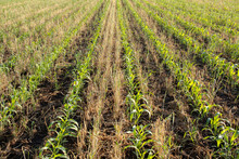 Rows Of Young Corn Growing Bet...