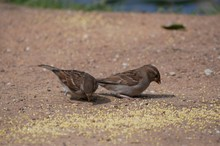 Sparrows Eat Millet In The Cit...
