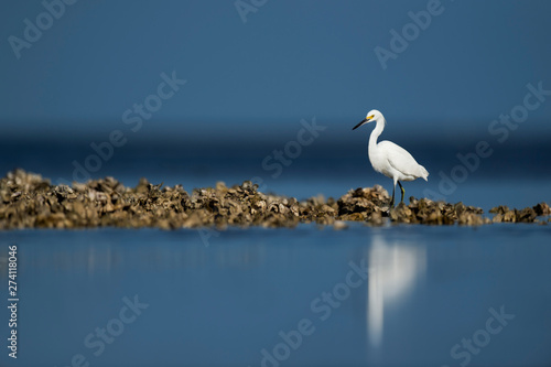 Foto op Canvas Vogel A Snowy Egret walks on an oyster bed in the bright sun with a blue ocean and sky background.