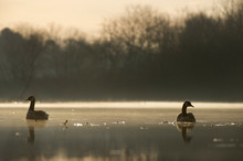 A Pair Of Canada Geese Float O...