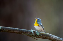 A Colorful Northern Parula Sings Out Its Song While Perched On A Branch With Green Lichen With A Smooth Brown Background.