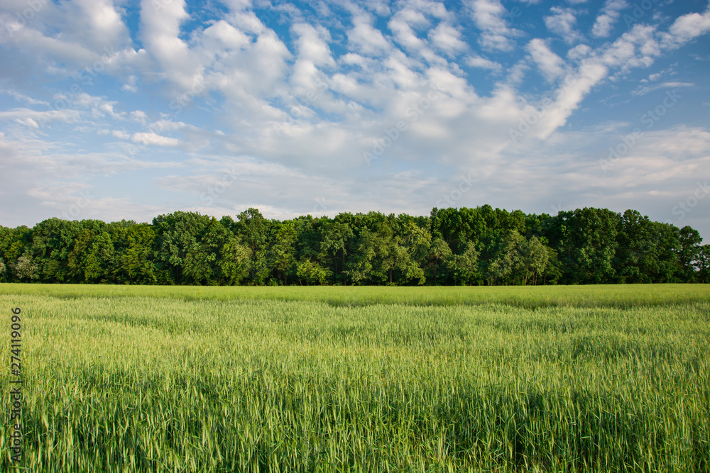 Fototapeta Green young cereal in the field, forest on the horizon and clouds on the sky