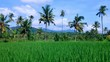 Natural Rice Fields Scenery Of The Farmlands At The Village, Ringdikit, North Bali, Indonesia