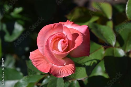 Gemini Rose in Garden