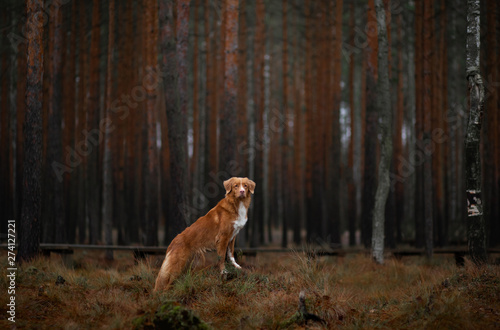 Poster Printemps dog in the forest. Nova Scotia Duck Tolling Retriever for a walk in nature. Redhead pet