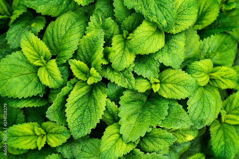 Fototapeta Mint leaves background. Green mint leaves pattern layout design. Ecology natural creative concept. Top view nature background with spearmint herbs - obraz na płótnie