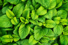 Mint Leaves Background. Green Mint Leaves Pattern Layout Design. Ecology Natural Creative Concept. Top View Nature Background With Spearmint Herbs