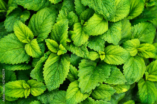 Fototapeta Mint leaves background. Green mint leaves pattern layout design. Ecology natural creative concept. Top view nature background with spearmint herbs obraz na płótnie