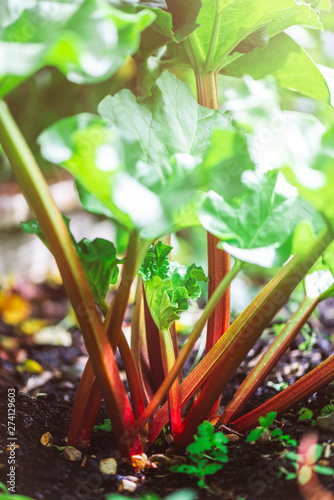 Fresh Rhubarb is growing in the garden during spring time