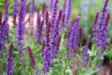 Garden Full Of Purple May Nigh...