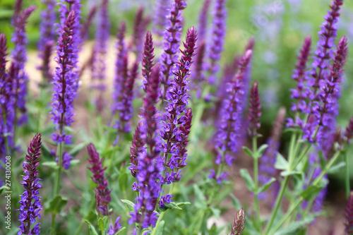 Fototapeta Garden Full of Purple May Night Salvia Meadow Sage Flowers obraz