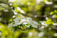Dogwood Flowers In The Ozarks