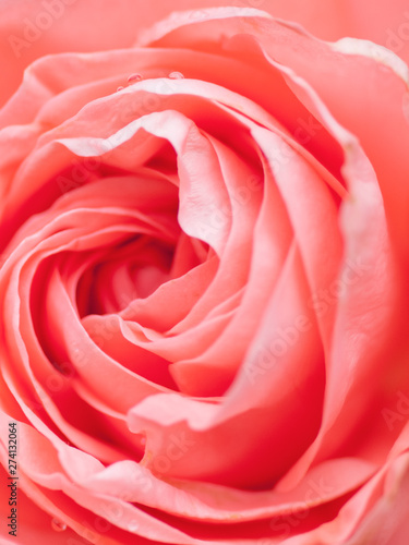 macro shot of beautiful pink rose flower.  Floral background with soft selective focus, shallow depth of field.