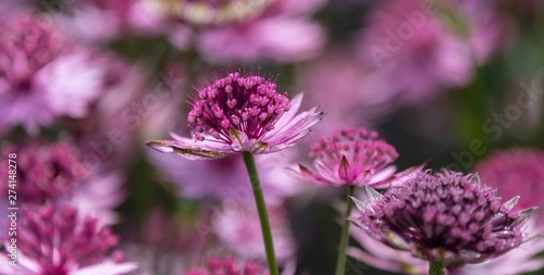 A close up photo of an Astrantia in bloom Wallpaper Mural