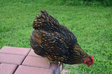 Golden Laced Wyandotte About To Jump