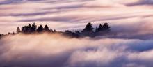 Evergreen Trees Rising Above A Sea Of Clouds In Santa Cruz Mountains, San Francisco Bay Area, California