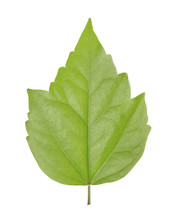 Green Leaf Of Hibiscus Is A Ge...